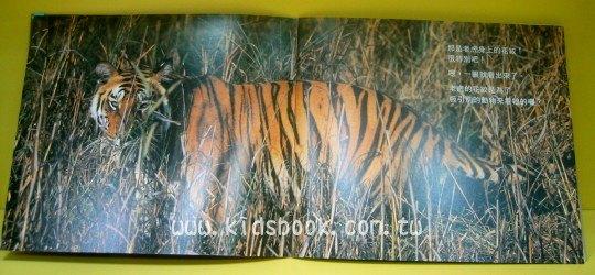 內頁放大:老虎的花紋:大科學
